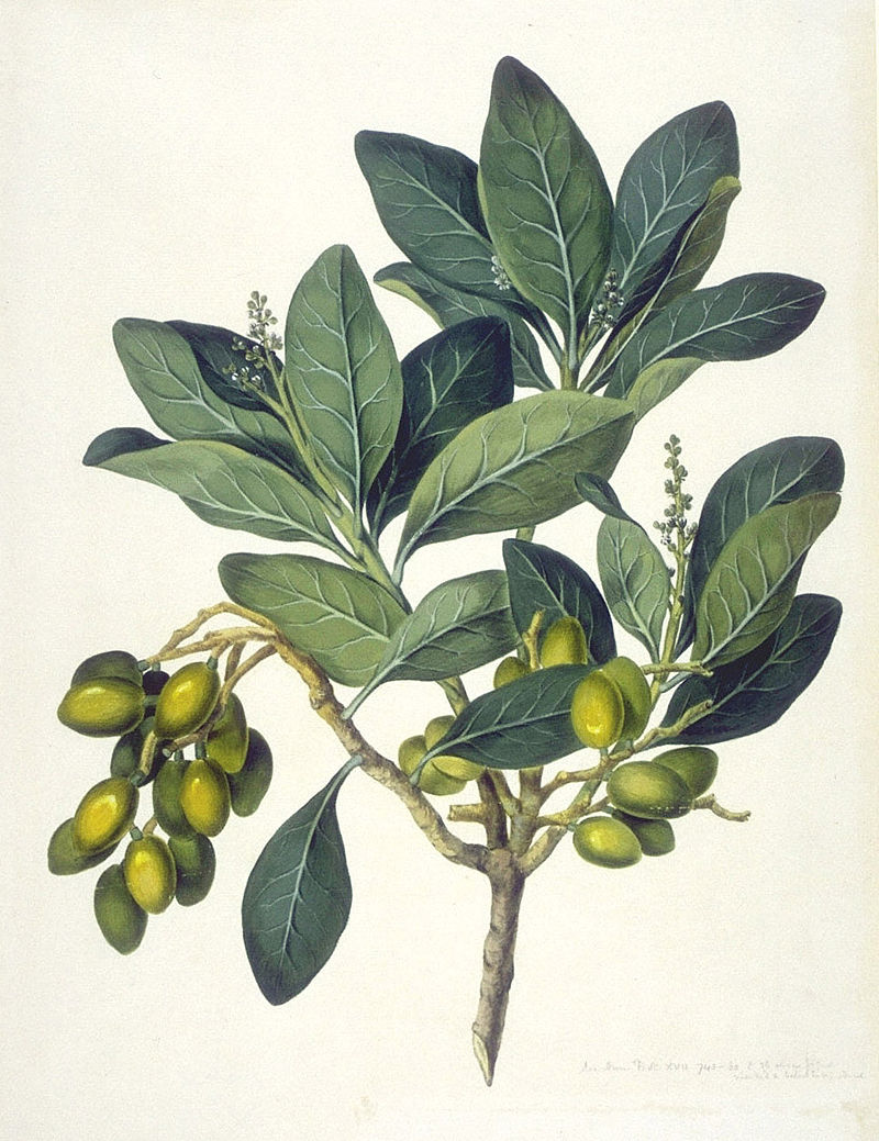 Figure 3. I think that I shall never see, a thing as lovely as a karaka tree. But do not eat the seed inside, unless it is detoxified. No, for real, though. Don't eat it. My poems don't fool around. Image: John Frederick Miller. 1774. The Endeavour botanical illustrations. Natural History Museum.