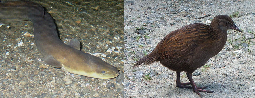 The wailing weka and the ghoul-like eel. Just not good enough, apparently. Image: Wikimedia Commons.