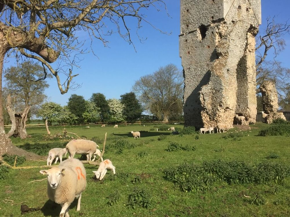 Sheep on the meadow at St Johns Church, Beacheamwell, Norfolk