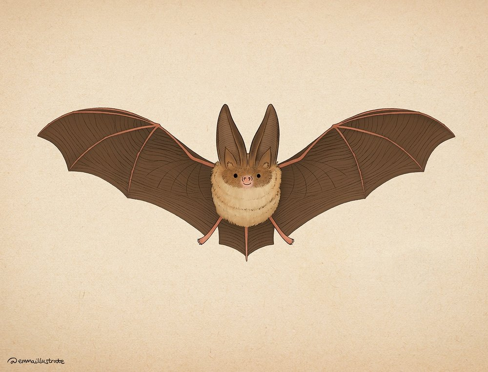 Brown_Long_Eared_Bat_Emma_Reynolds