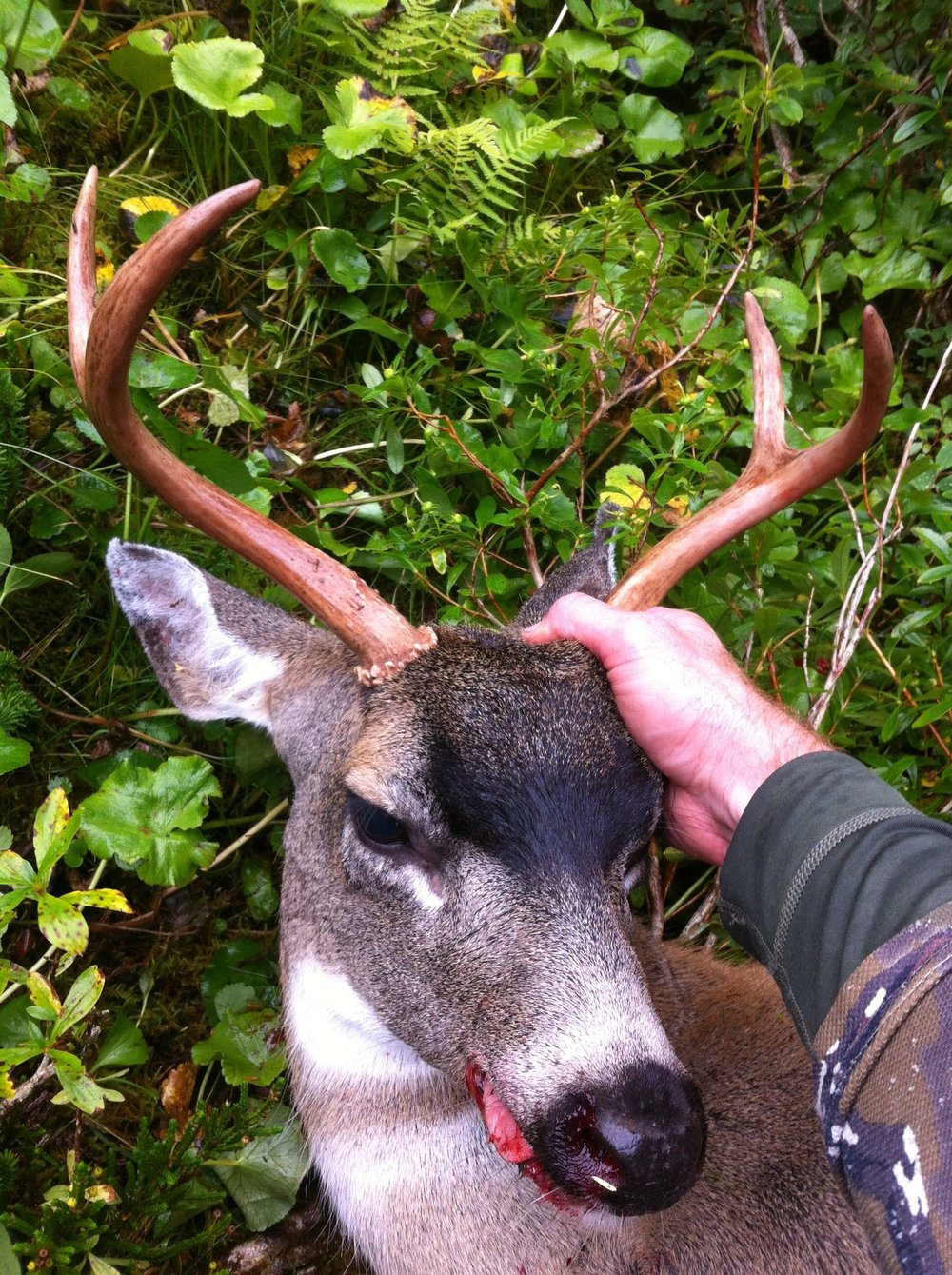 Prince of Wales, Alaska- Sitka Blacktail, 2015