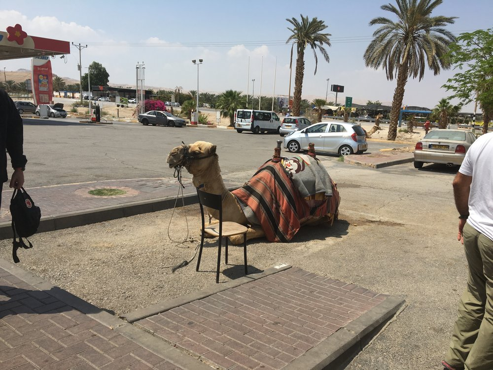 Sad camel at a gas station and restaurant stop on the way to the Dead Sea
