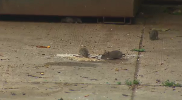 'You hear them screeching': North York residents fed up with rodent problem