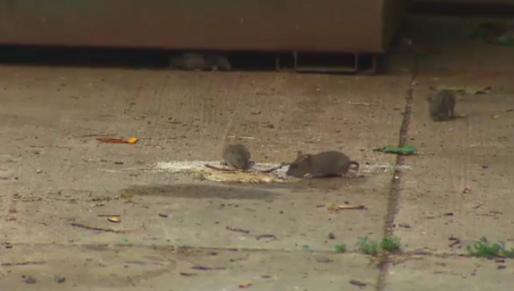 'You hear them screeching': North York residents fed up with rodent problem - Residents in North York say they're frustrated after voicing multiple complaints about a rodent problem in and around their townhouse complex.