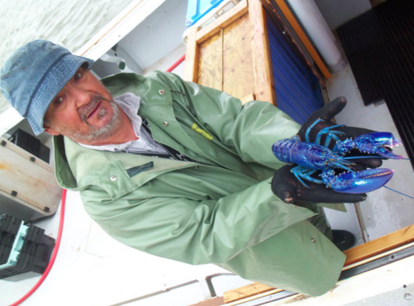 Rare blue lobster caught in P.E.I. - Prince Edward Island fisherman Blair Doucette has seen many different colours of lobsters — bright red, orange, yellow-red — in his 35-year career, but none like the rare blue lobster he caught.