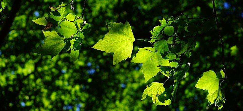 A leaf, by Niggle