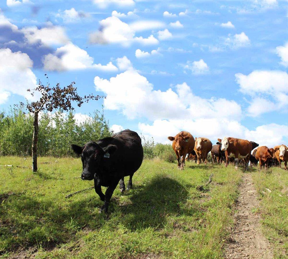 011-Cows4-web.jpg