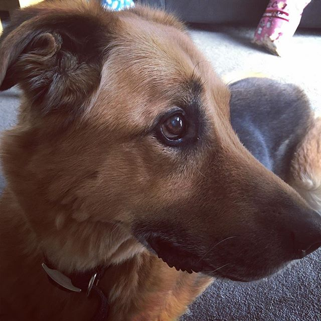 Look at those puppy dog eyes! Old Man Taz here is gonna be 14 soon, and he is the softest, sweetest lil pupper in the world 💜