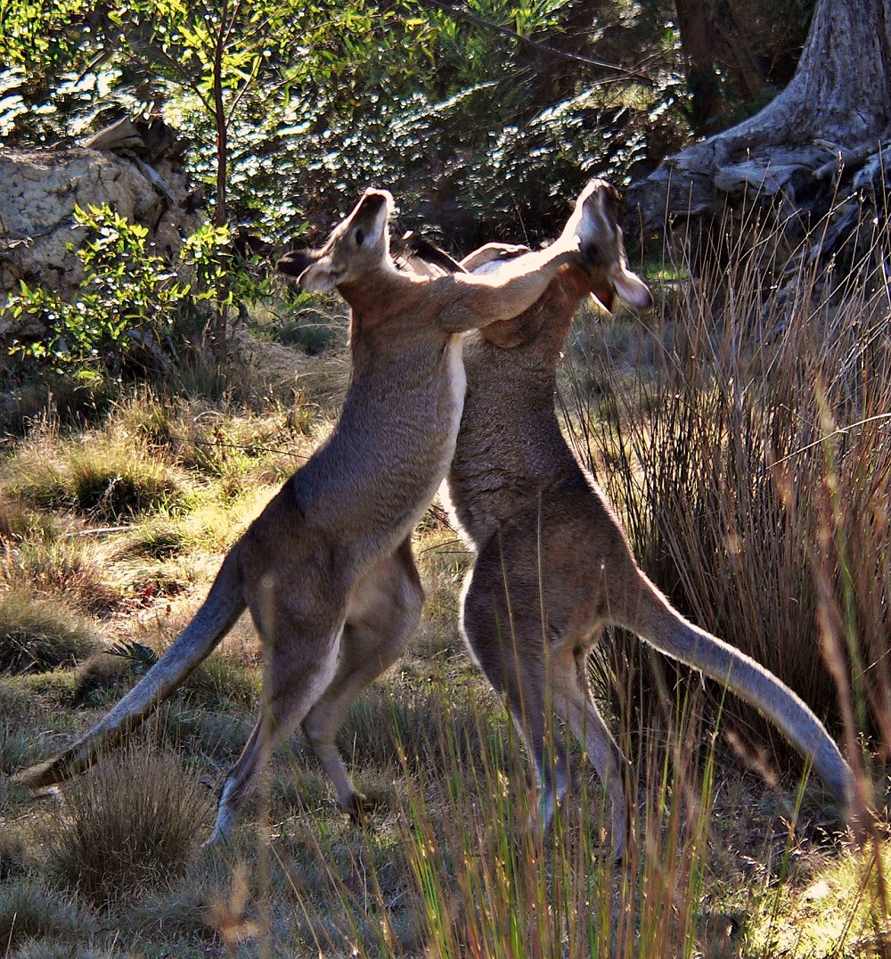 A WINNER Mark Selmes - Red-necked wallabies.jpg