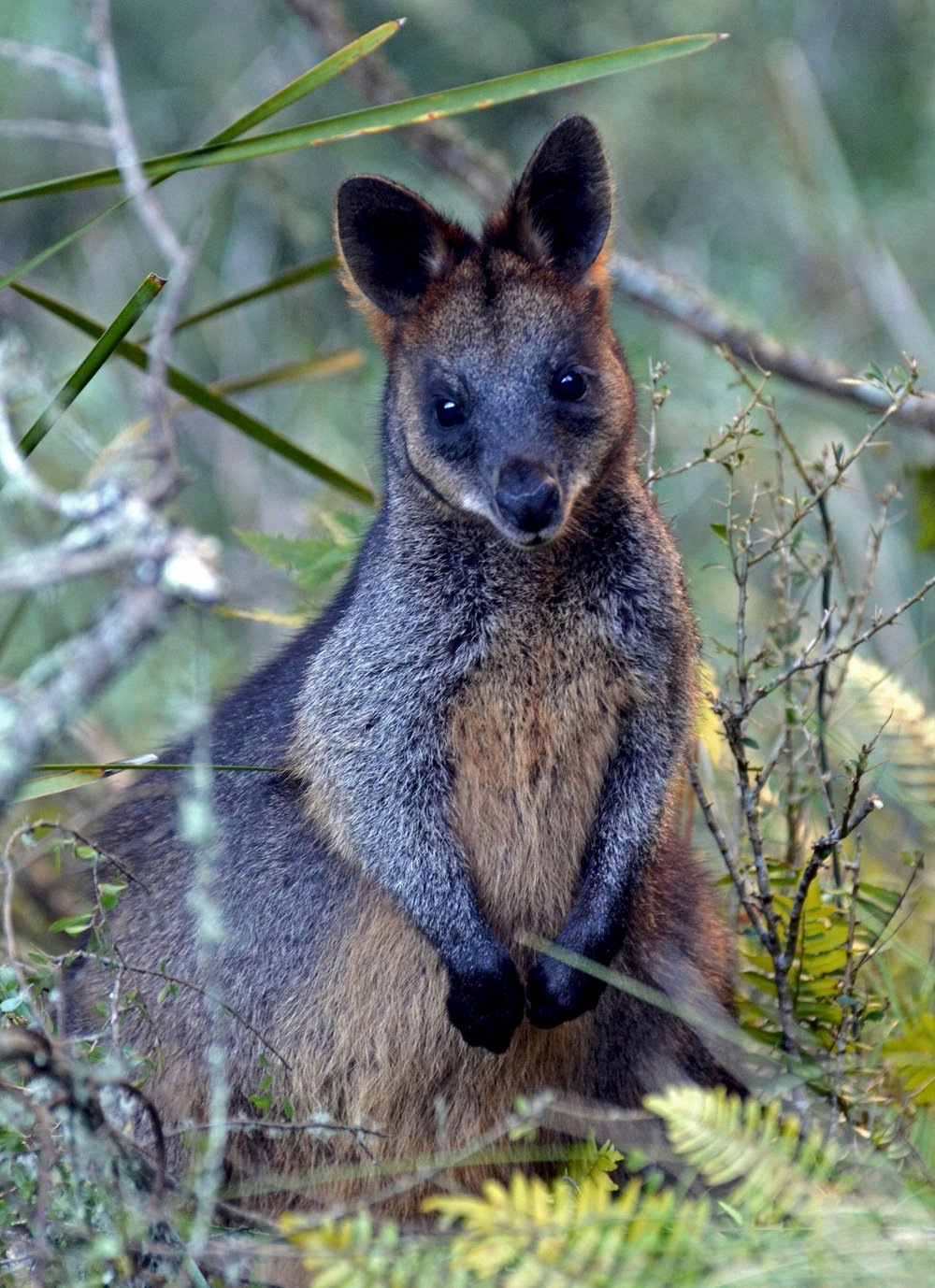 035_swamp_wallaby.jpg