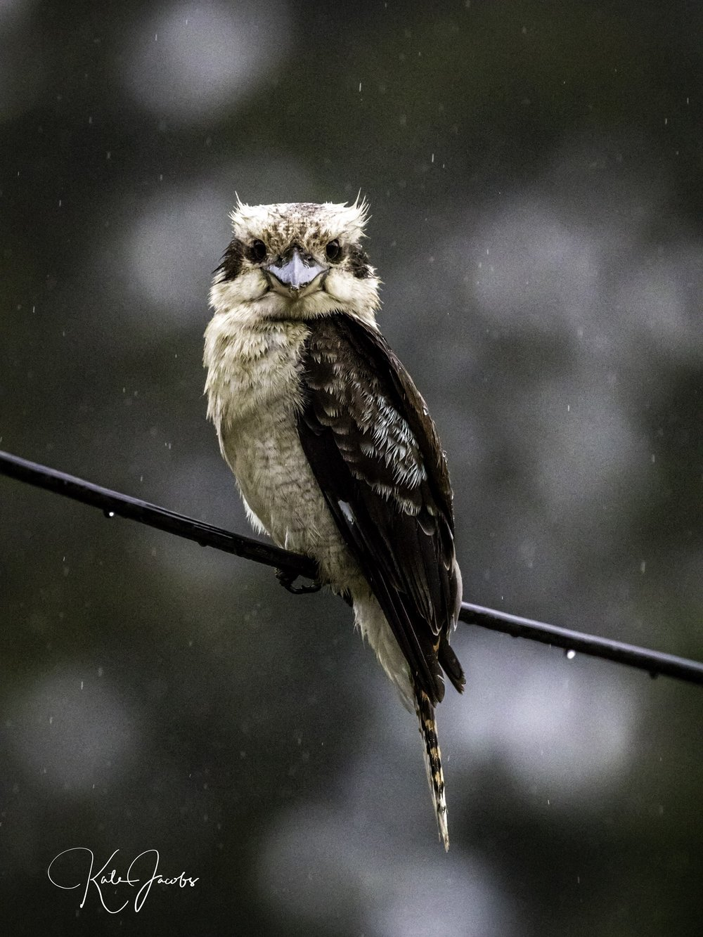 competition_kookaburra1.jpg