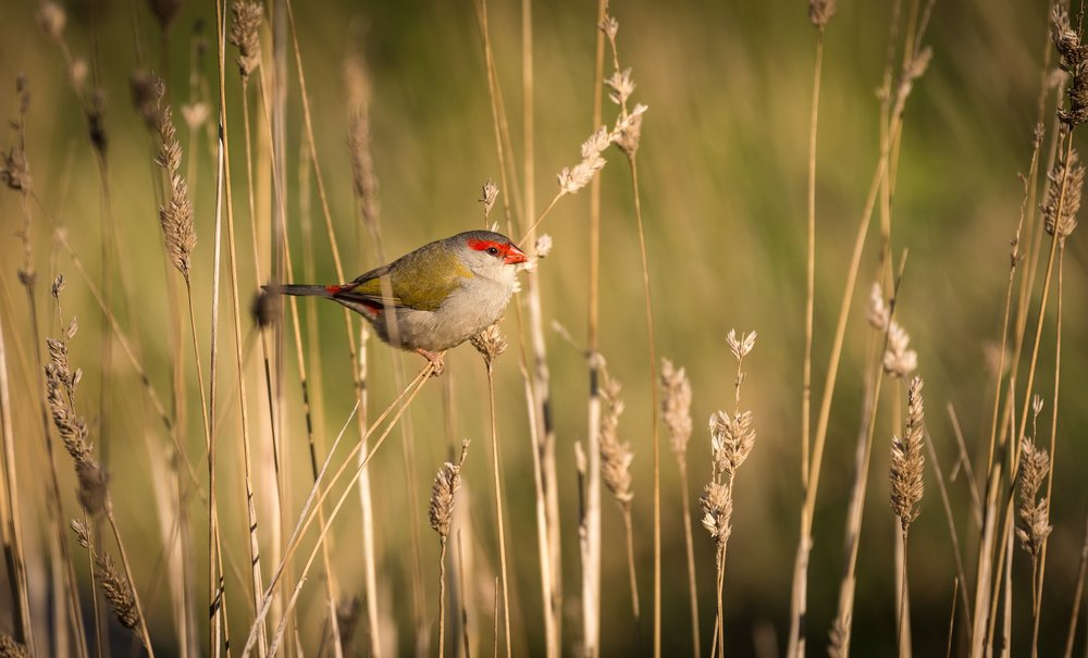 red_browed_finch1037.jpg