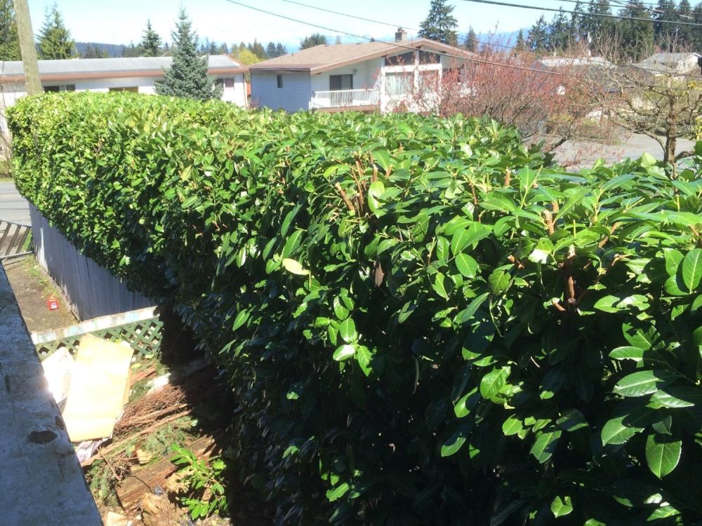 Top of laurel hedge