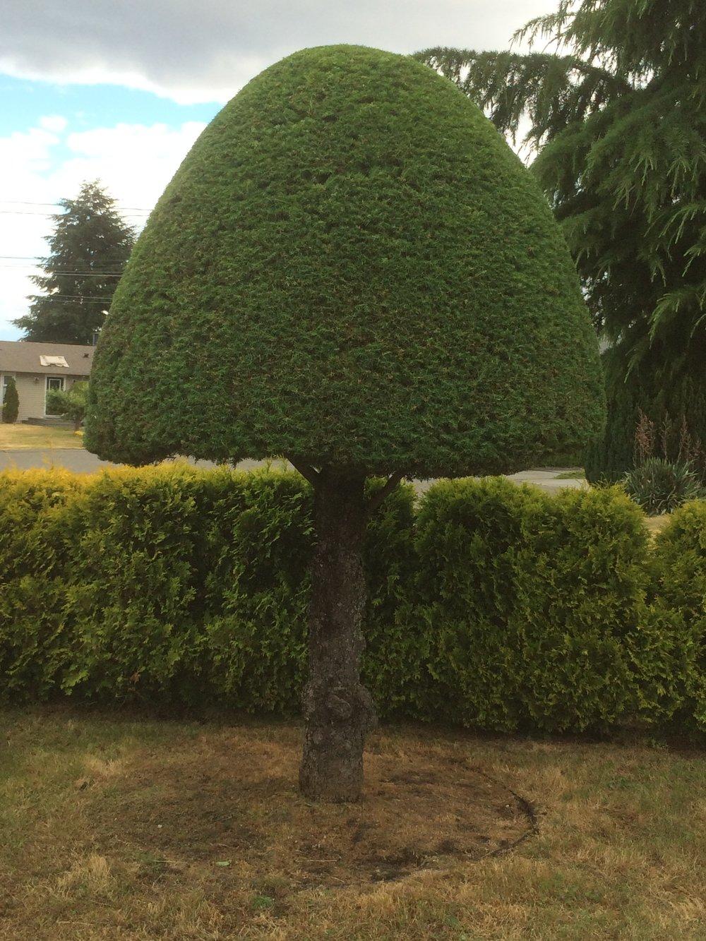 mushroom shaped tree - nanaimo pruning