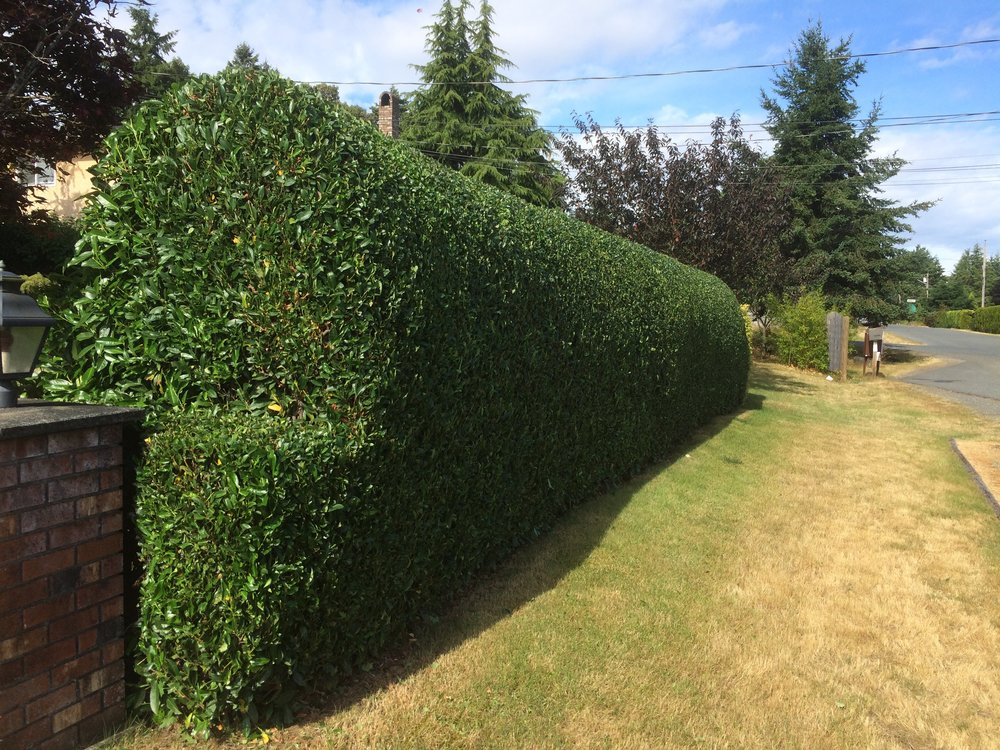 nice laurel hedge - nanaimo landscaping