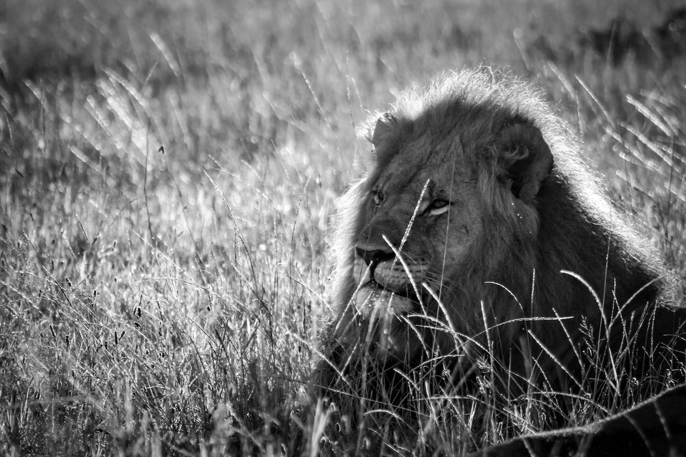 Morning Lion, South Africa, Canon DSLR