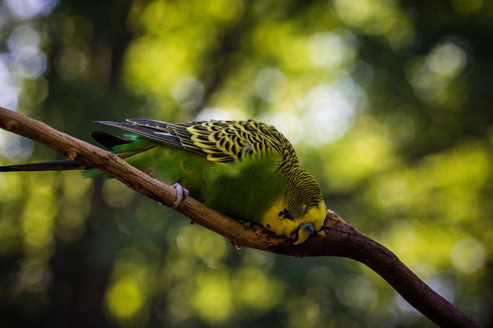 Blissful Budgie, Atlanta Zoo, Canon DSLR
