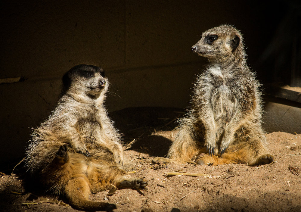 Mellow Meerkats, Atlanta Zoo, Canon DSLR
