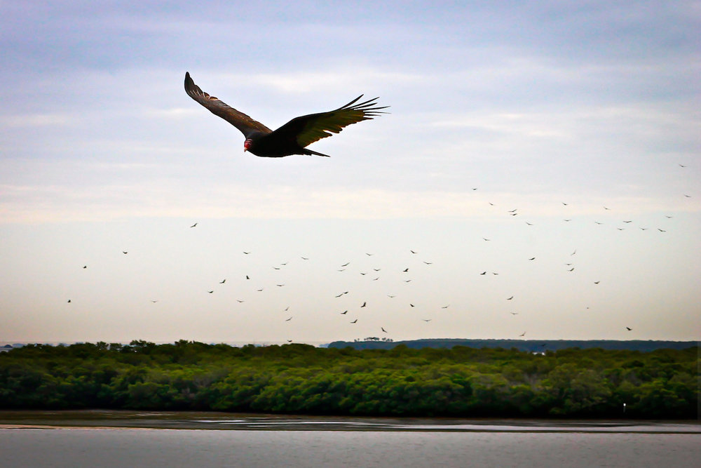 Turkey Vulture Flock, St. Petersburg FL, Canon DSLR