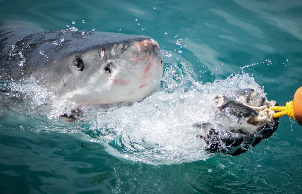 Great White Chomp, South Africa, Canon DSLR
