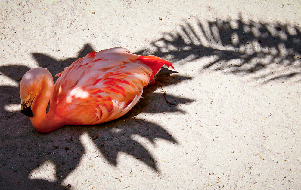 Shady Flamingo, St. Petersburg FL, Canon DSLR