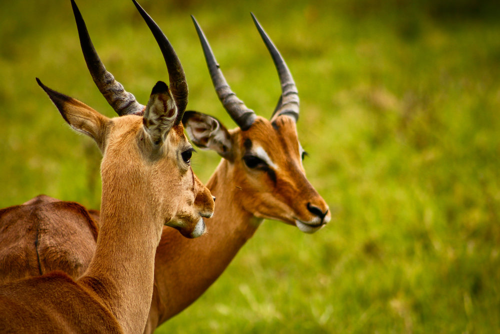 Impala Gossip, South Africa, Canon DSLR