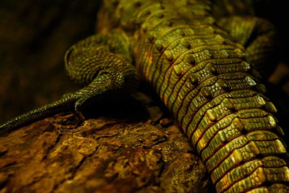 Caiman Tail, Atlanta Zoo, Canon DSLR