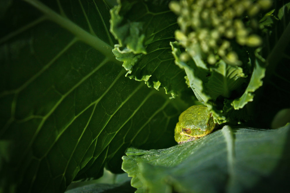Broccoli Frog, Brunswick GA, Canon DSLR