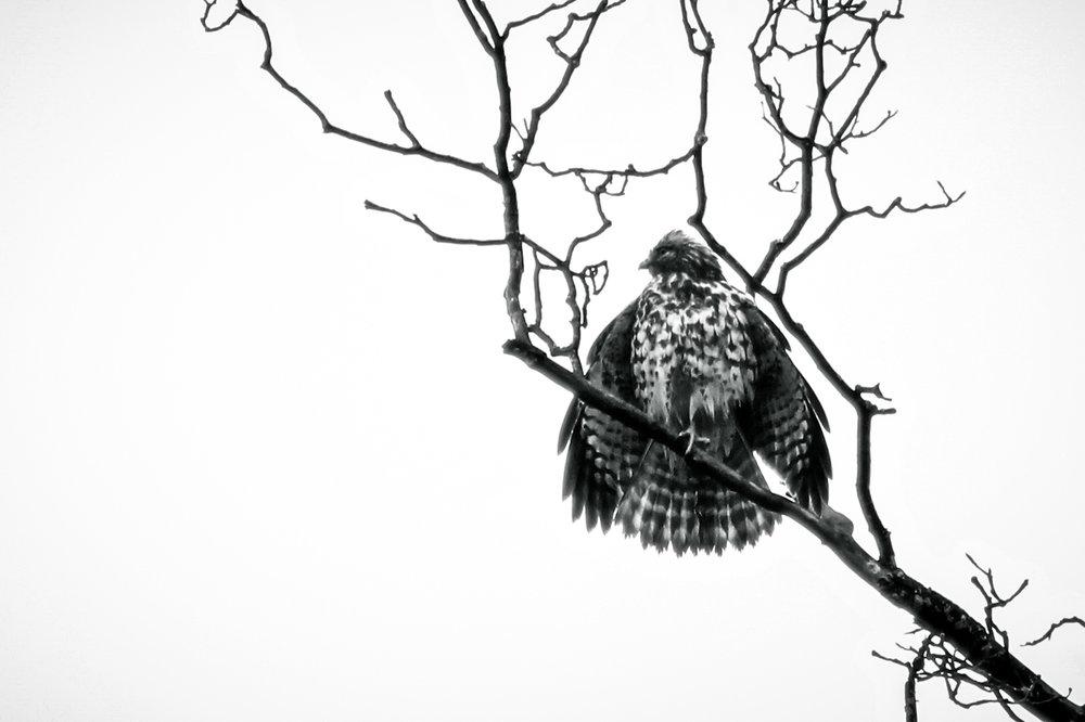 Atlanta Hawk, Atlanta GA, Canon DSLR