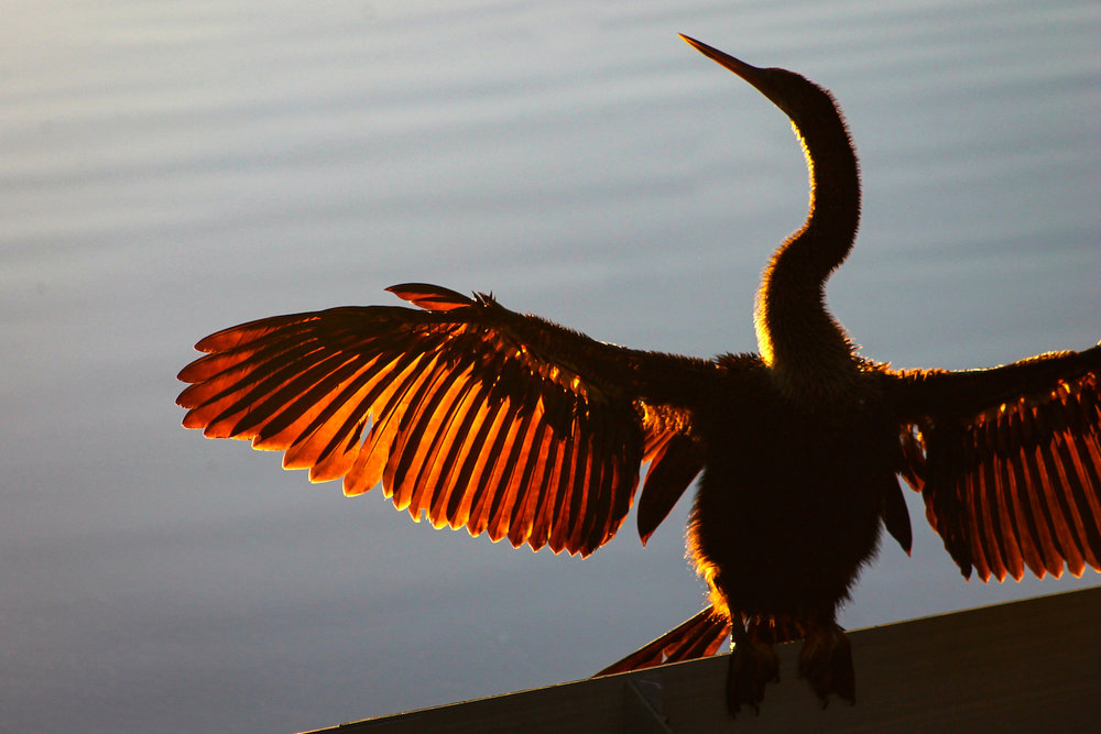 Anhinga at Sunset, St. Petersburg FL, Canon DSLR