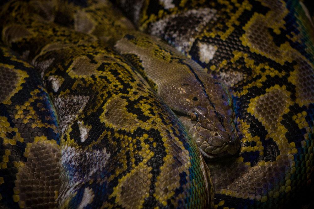 Iridescent Boa, Atlanta Zoo, Canon DSLR