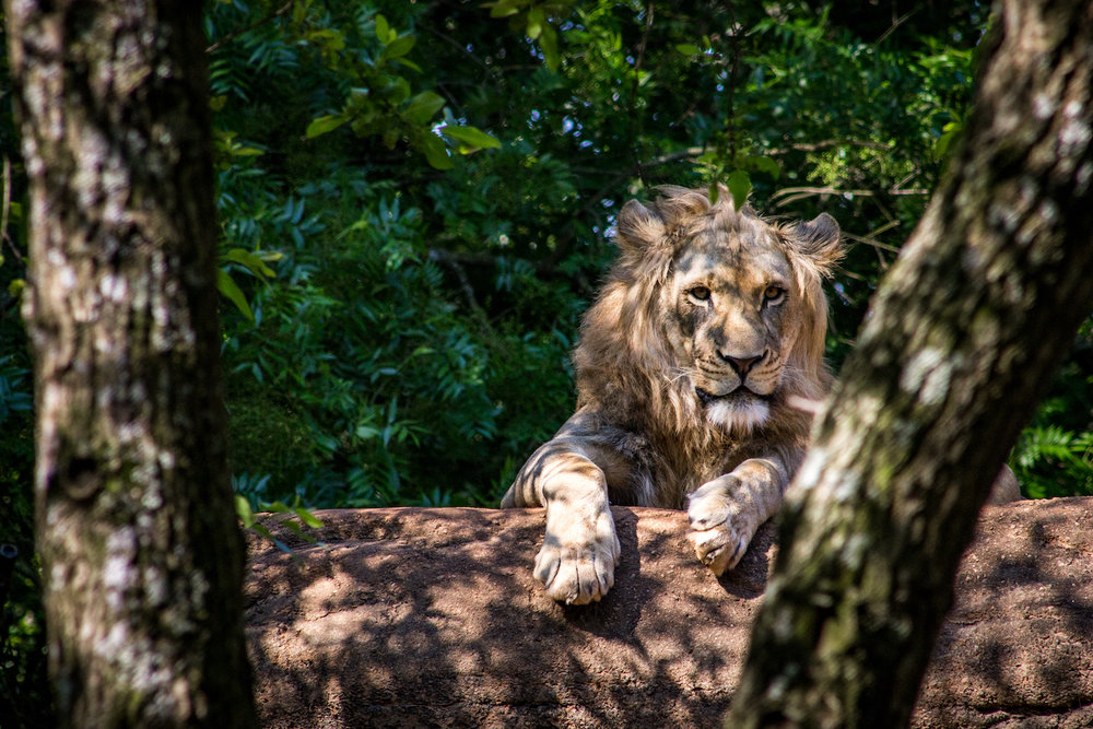 Lion and Pines, Atlanta Zoo, Canon DSLR