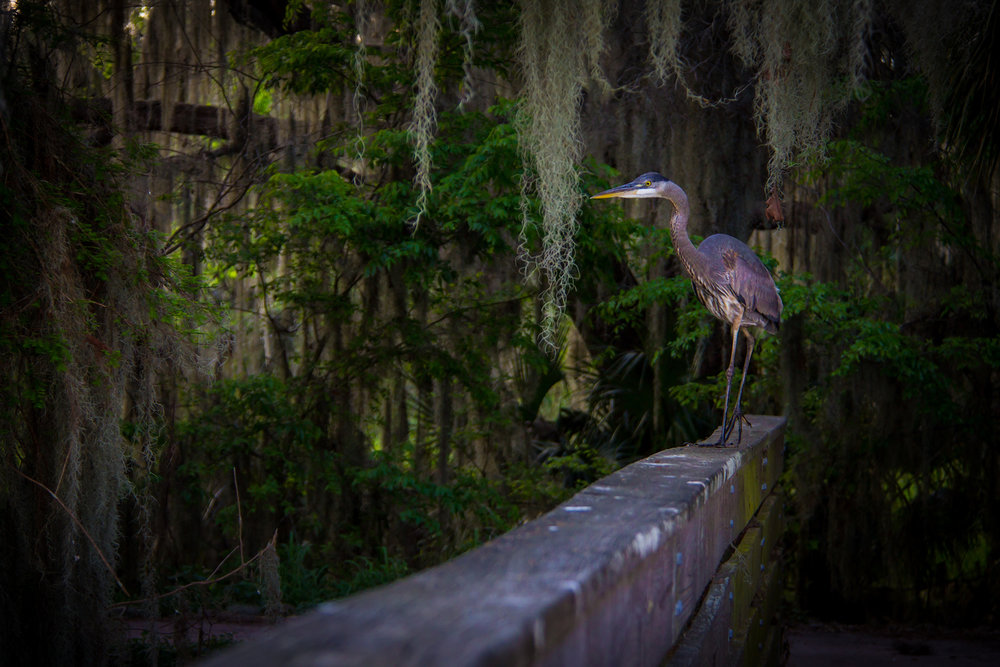 Heron on Railing, Lakeland FL, Canon DSLR