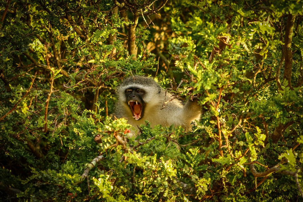 Vervet in Tree, South Africa, Canon DSLR