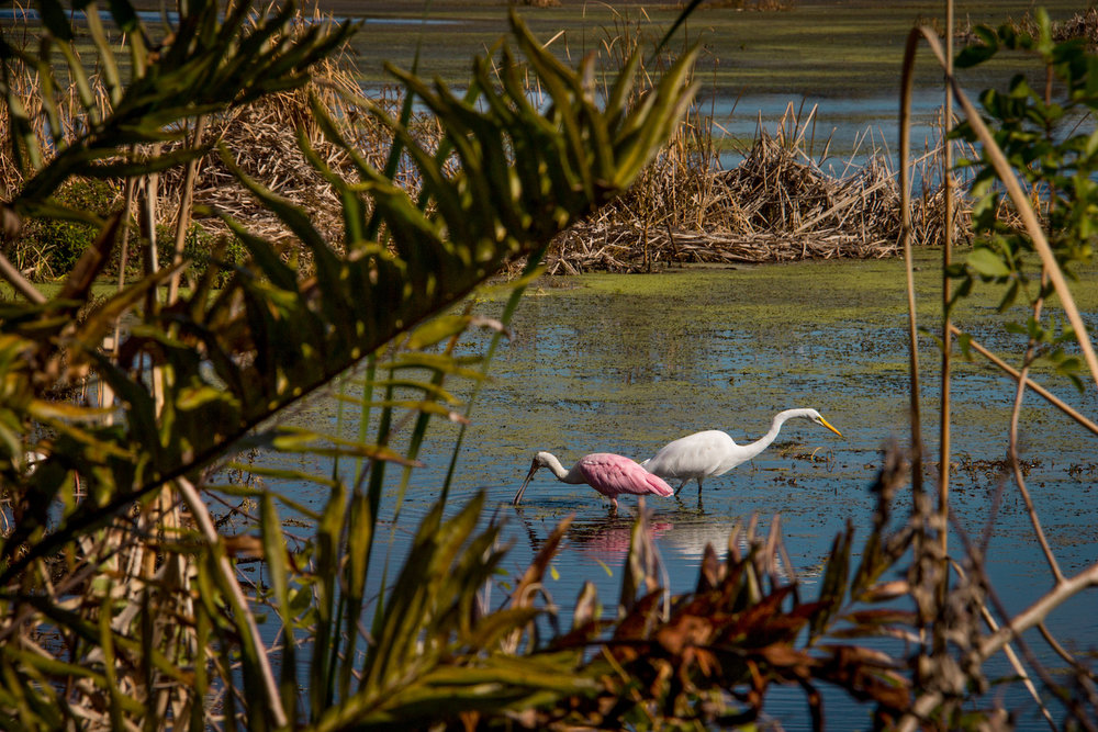 Spoonbill and Egret, St. Petersburg FL, Canon DSLR