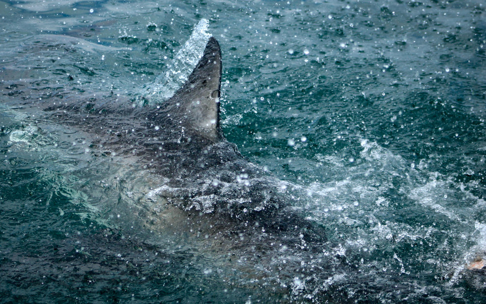 Great White Freeze Frame, South Africa, Canon DSLR