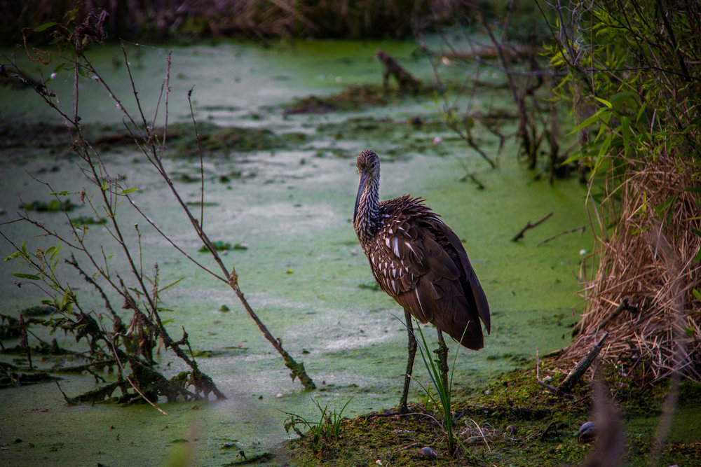 Swamp Limpkin, Lakeland FL, Canon DSLR
