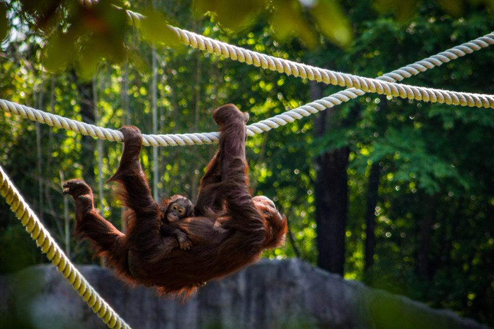 Orangutan Ride, Atlanta Zoo, Canon DSLR