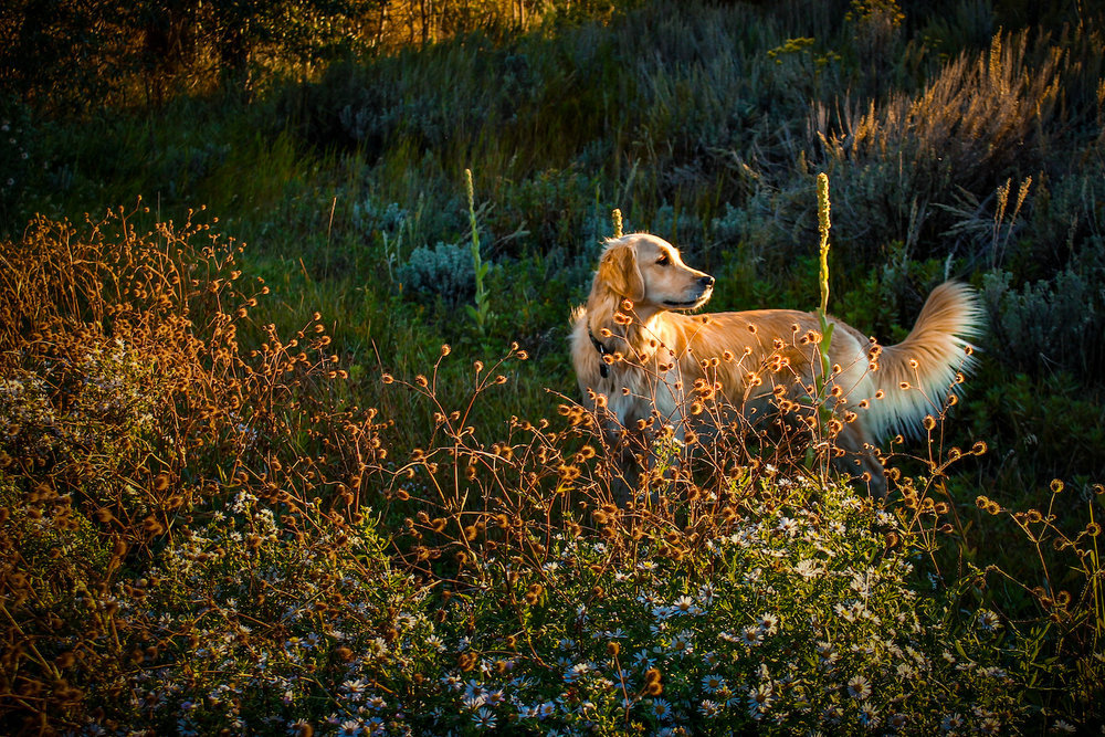 Lucy in Gold, Truckee CA, Canon DSLR