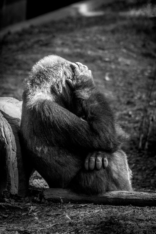 Reticent Gorilla, Atlanta Zoo, Canon DSLR