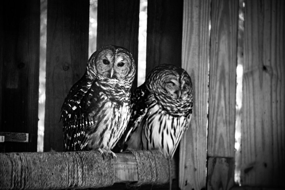 Barred Owl Pair, St. Petersburg FL, Canon DSLR