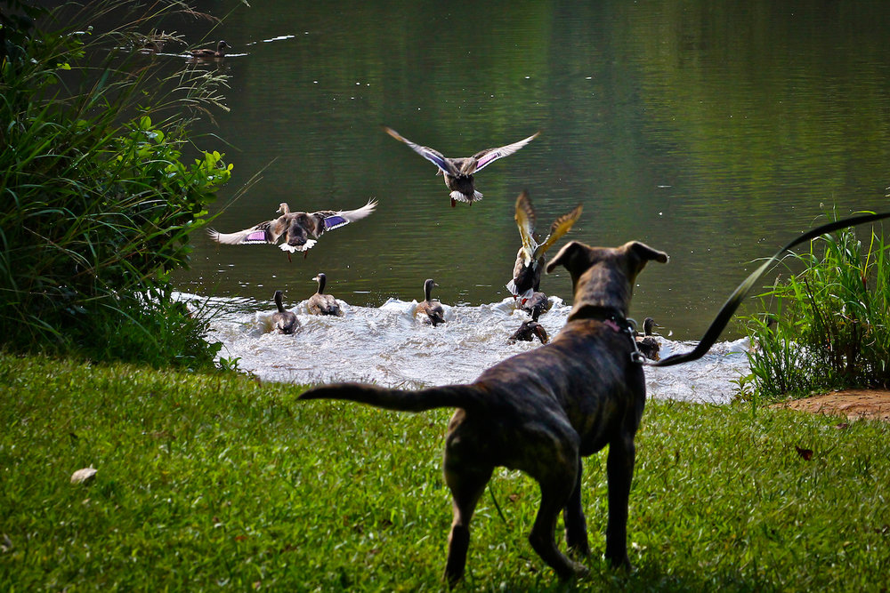 Dog Meets Ducks, Atlanta GA, Canon DSLR