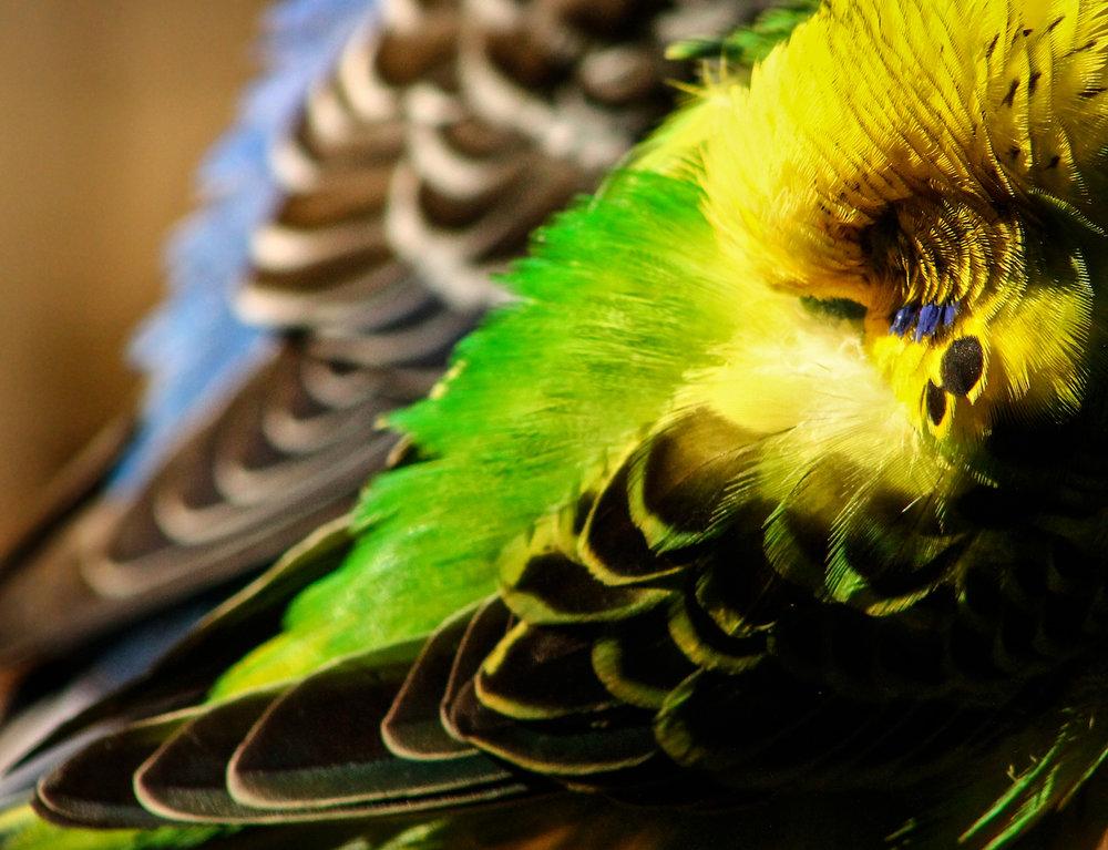 Parakeet Slumber, Atlanta Zoo, Canon DSLR