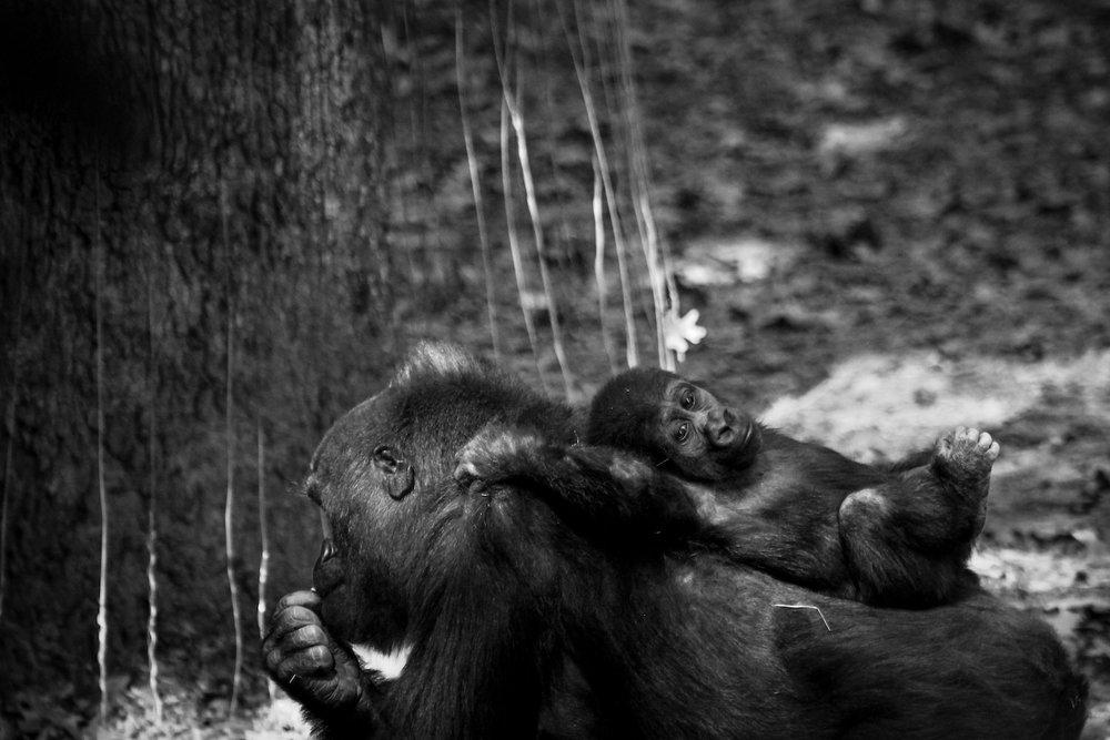 Mother and Baby Gorilla, Atlanta Zoo, Canon DSLR