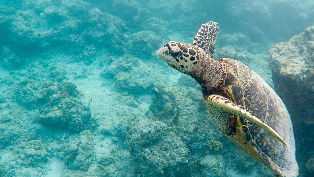 Gili island sea turtle