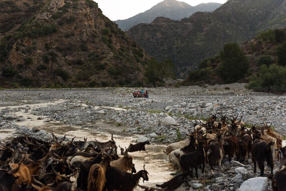 Domenica Romeo's herd in the Amendolea torrent, in the Aspromonte National Park, August 2018.