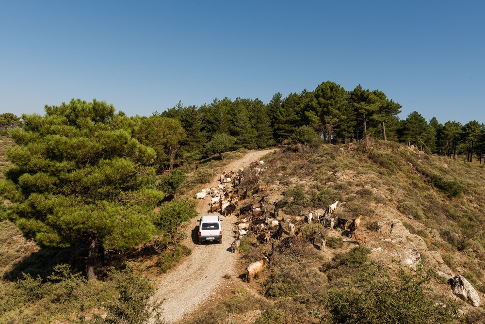 Nino Nucera (41), shepherd-sentinel of Bova, grazes his herd driving an old Fiat Panda 4x4 in the Aspromonte National Park, August 2018.  Nino is one of the shepherds involved by the park authorities in the firefighting activities. After spending years working in a body shop on the Ionian coast, Nino decided to return to Bova to devote himself to pastoralism, taking the place of his father, too old to look after the herd.