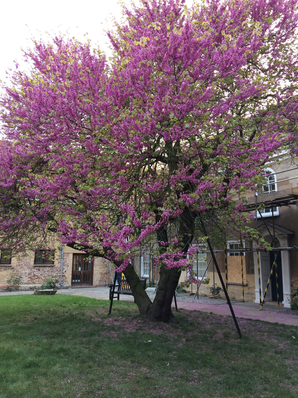 This spectacular Judas Tree fills the courtyard of Thorington College, one of the important historic buildings in King's Lynn, now used for celebrations, courses, meetings and events. The tree rises to the occasion being a landmark in its own right.