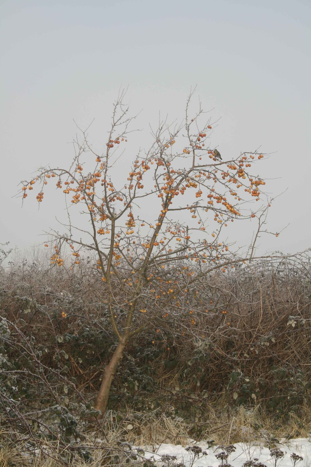 Crab apple and Fieldfare.jpg