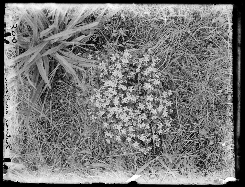 Edward James Salisbury. From box 290-307-Blakeney Plant Portraits/Photos.  Sedum anglicum. Plate n°300